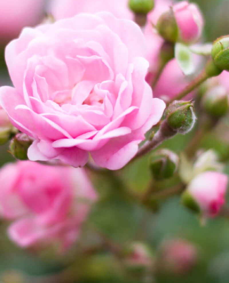 rose flower perfume essential oil
