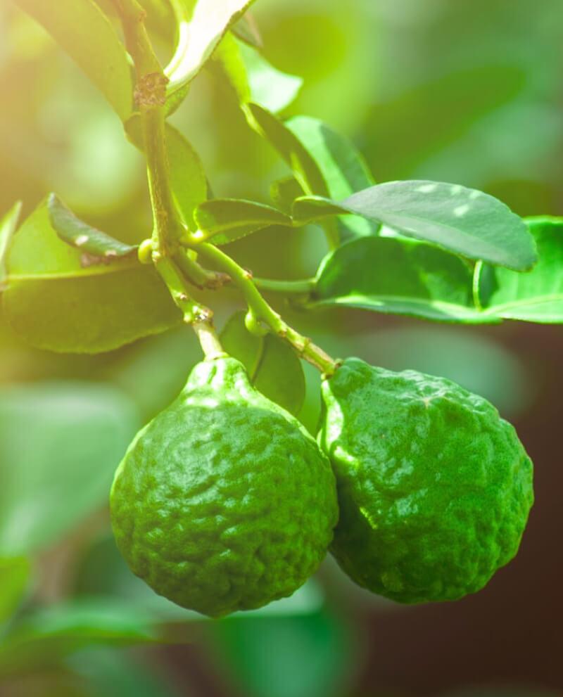 Beramote fruit recolte huile essentielle naturelle