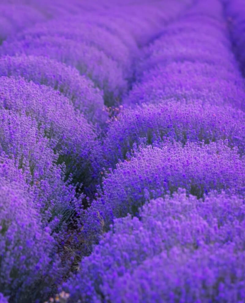 lavender field dromes france essential oil