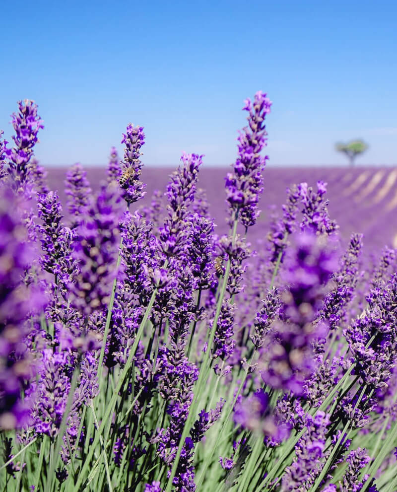 lavender field orpur quality givaudan foundation essential oil