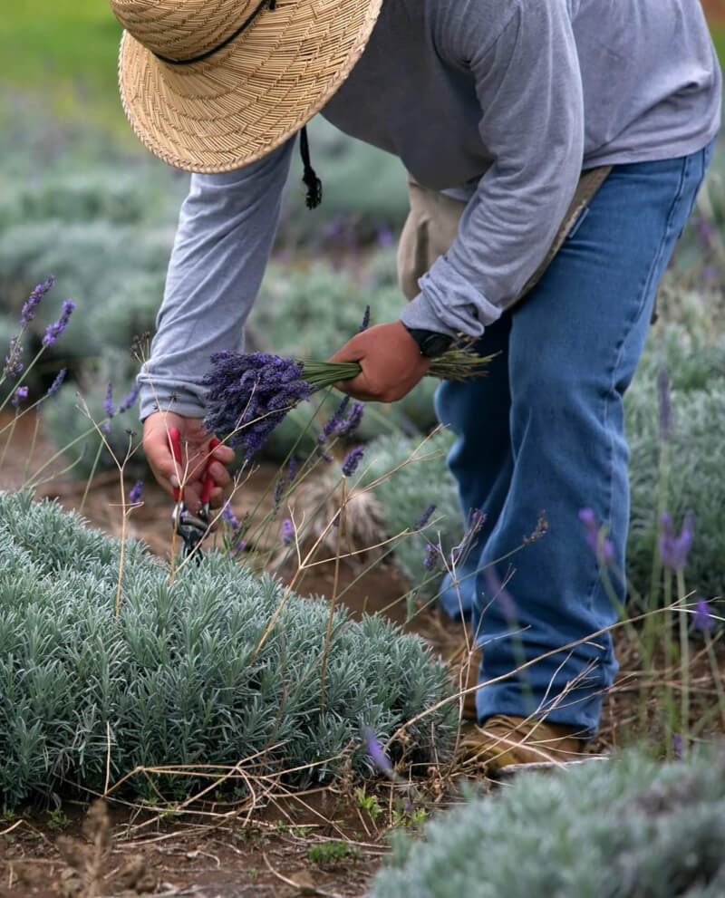 lavender manual harvest orpur quality givaudan foundation
