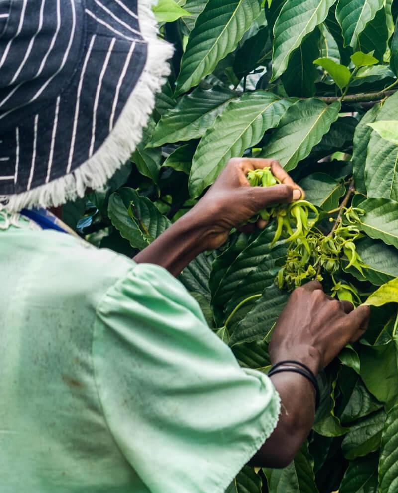 Compoz compositeur cartouche huile essentielle naturelle ylang ylang recolte