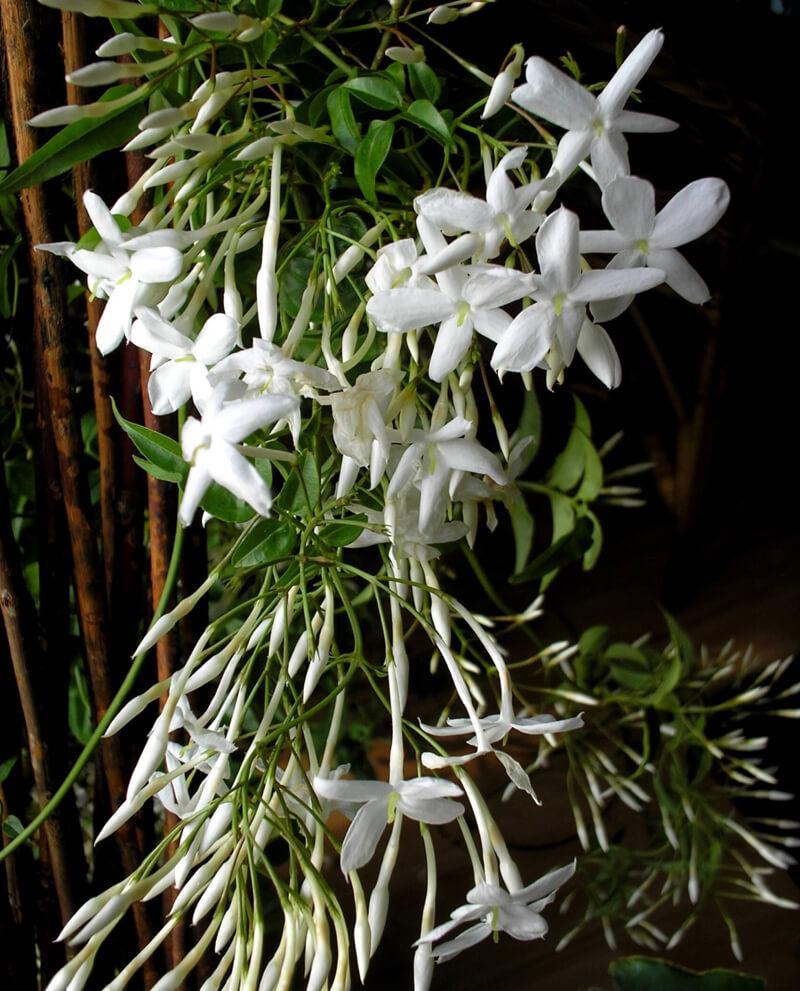 compoz compositeur huile essentielle naturelle jasmin sambac parfum interieur nature ambiance