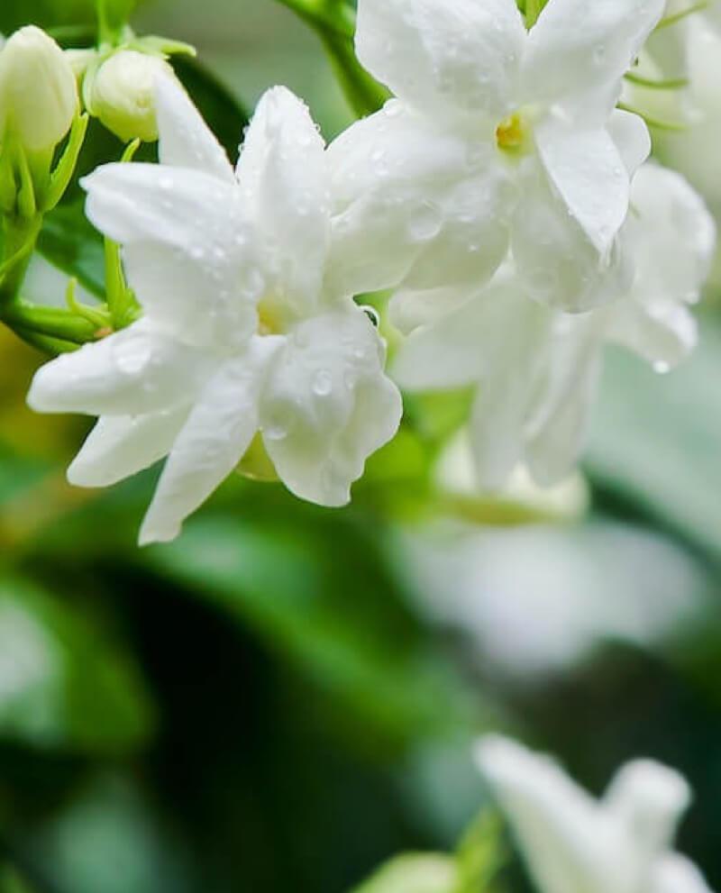 compoz compositeur huile essentielle naturelle jasmin sambac parfum nature ambiance