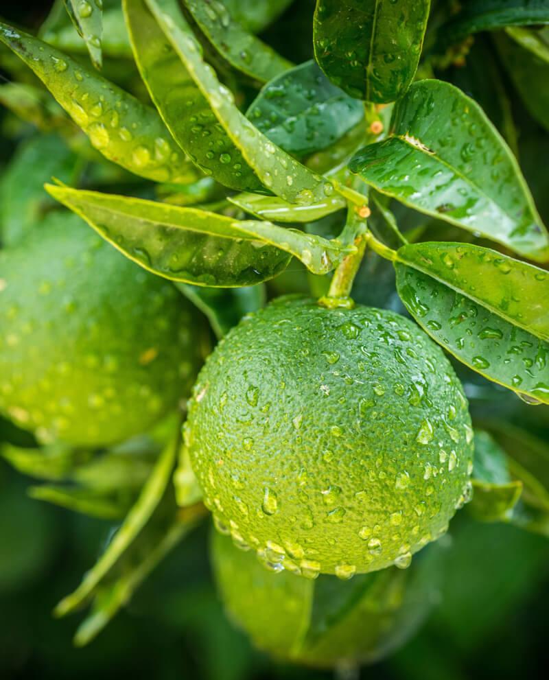 green orange harvest italy brasil