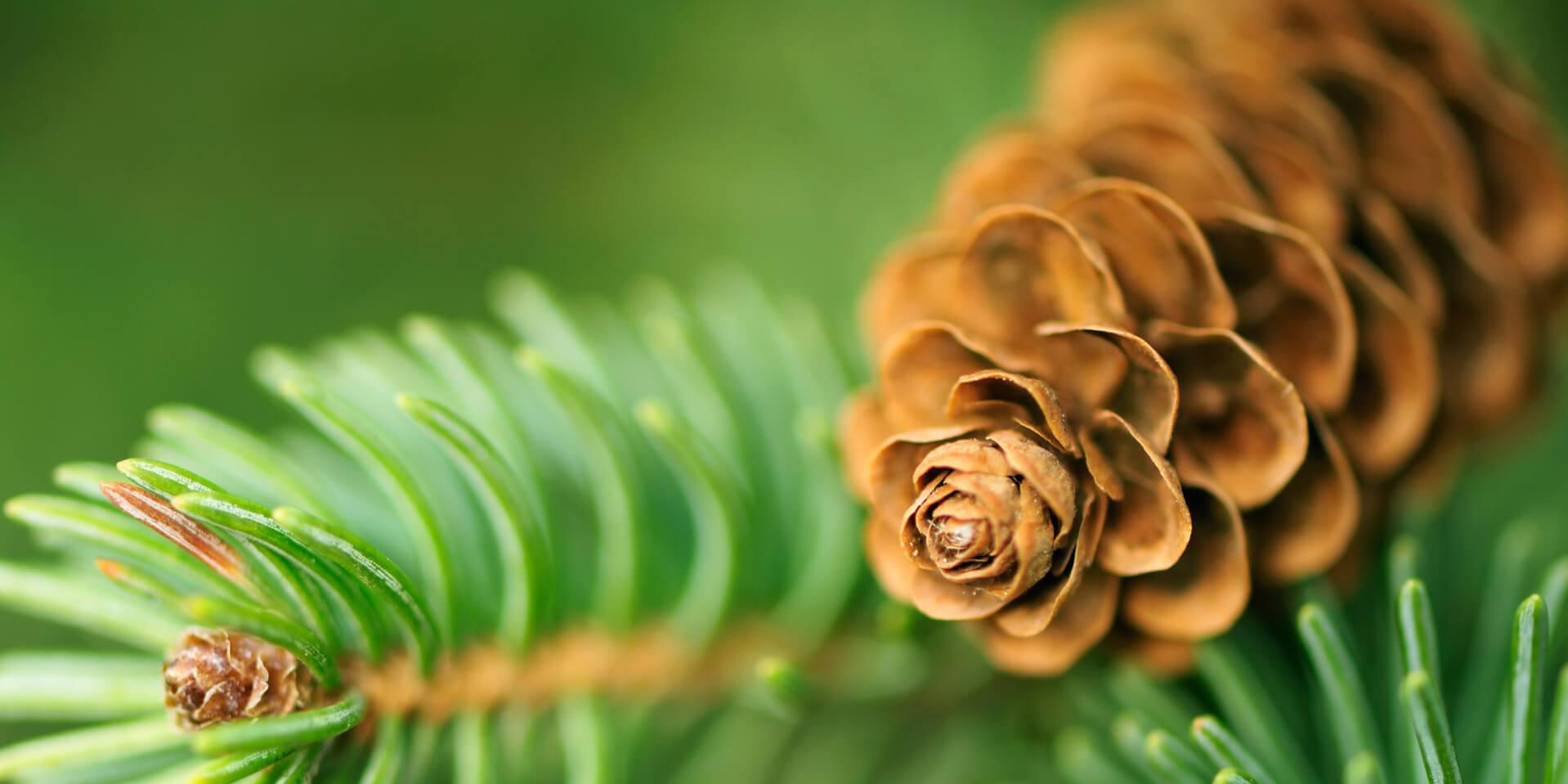 Pomme de pin de laquelle on extrait l'huile essentielle afin de créer un parfum boisé