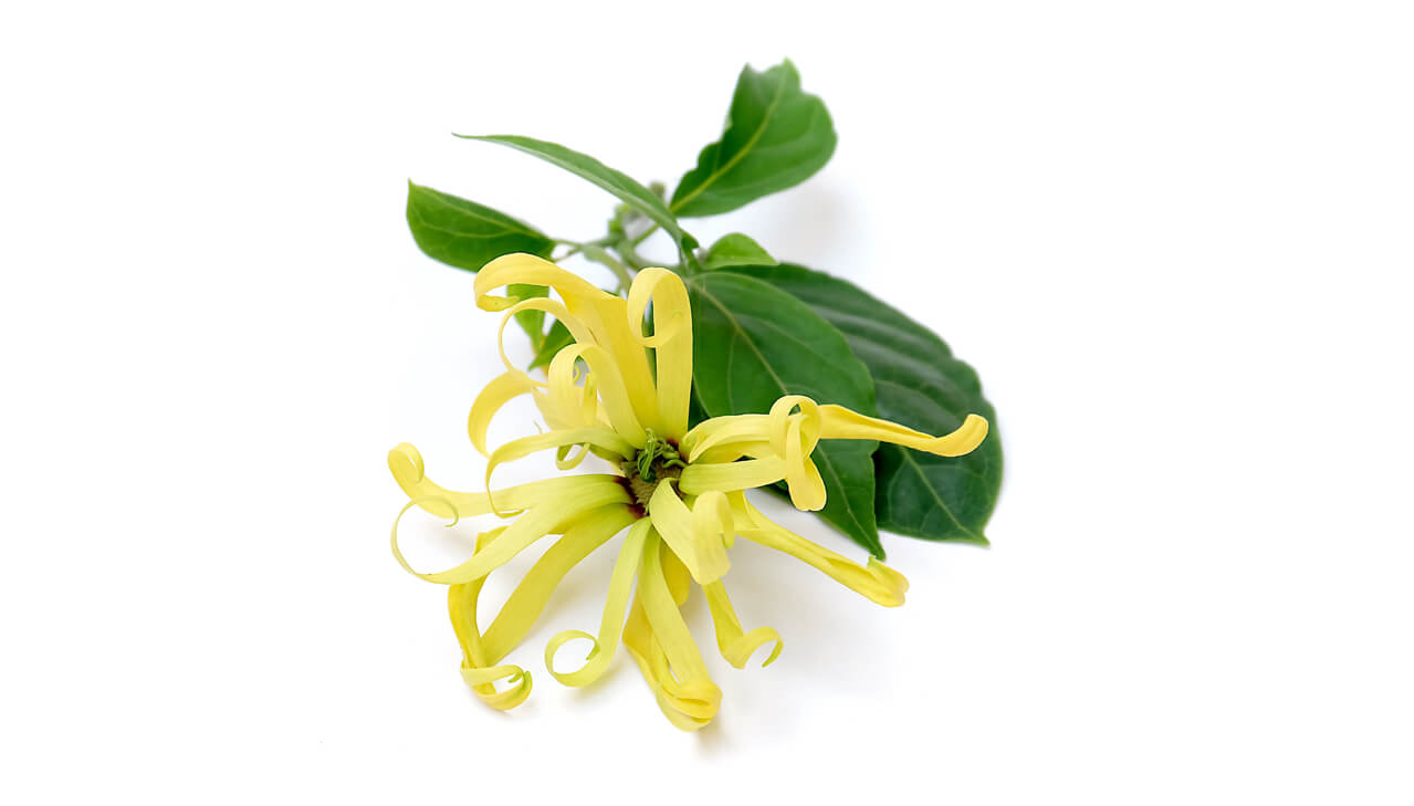 fleur d'ylang ylang-parfum ylang ylang-huile essentielle-archipel des comores