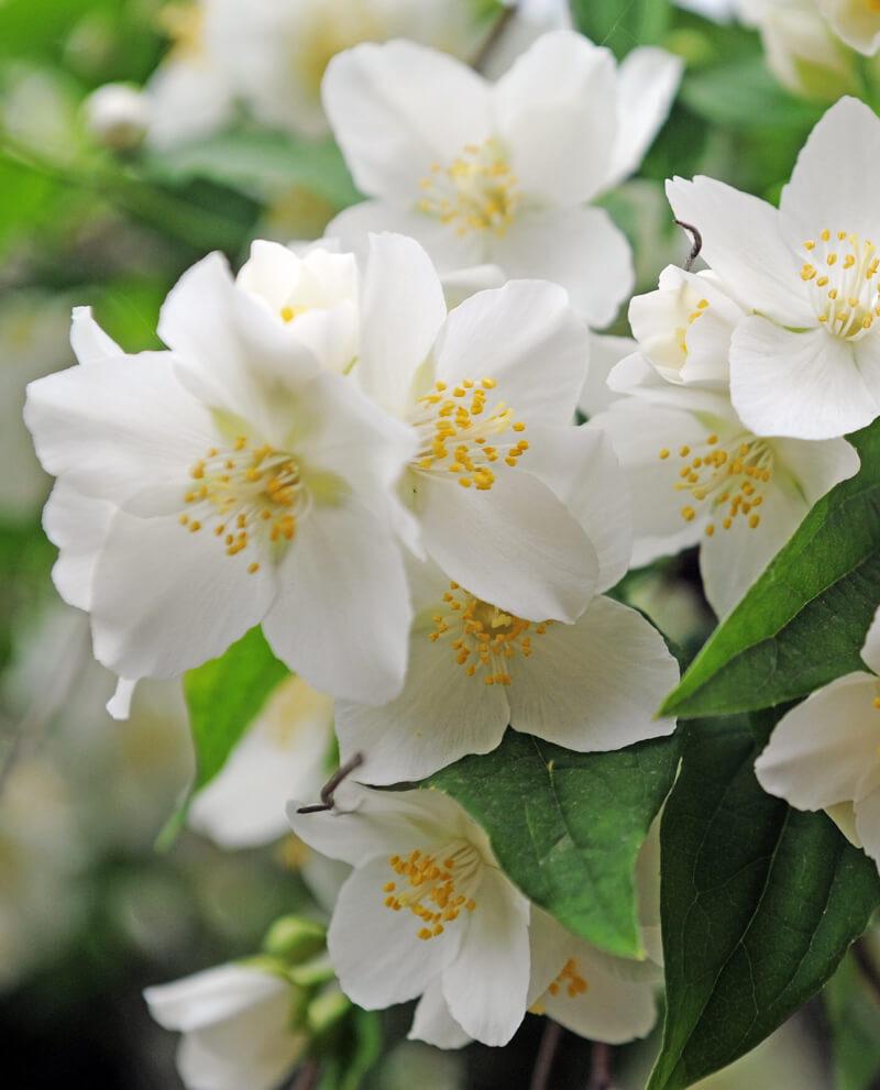 neroli bouquet harvest essential oil perfume compoz
