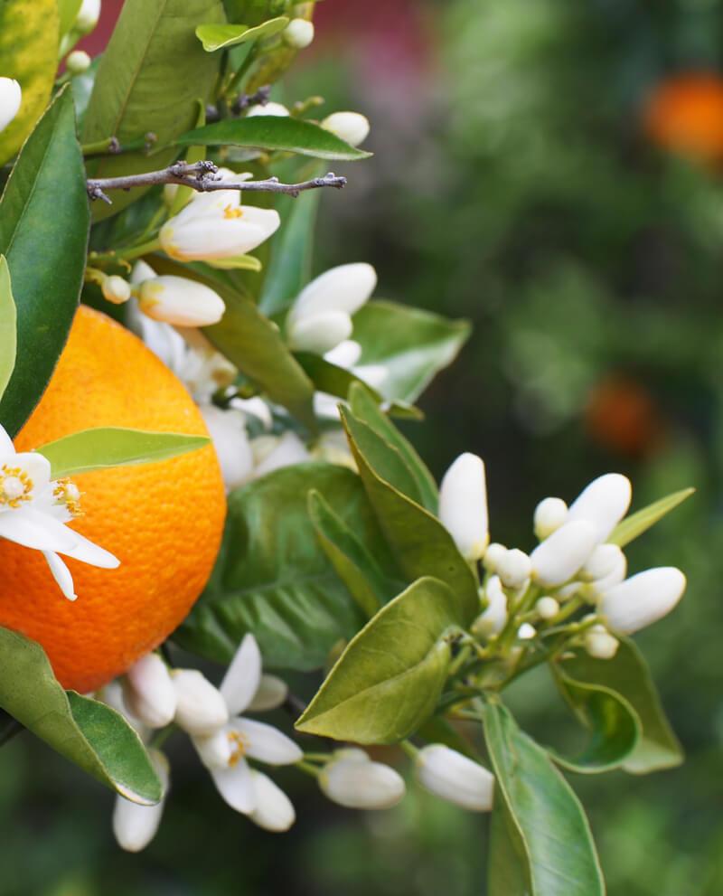 cartouche-huile-essentielle-naturelle-neroli-fleur-oranger-nature-qualite-recolte-Orpur-Givaudan-haute-parfumerie-parfum-ambiance-interieur-decoration