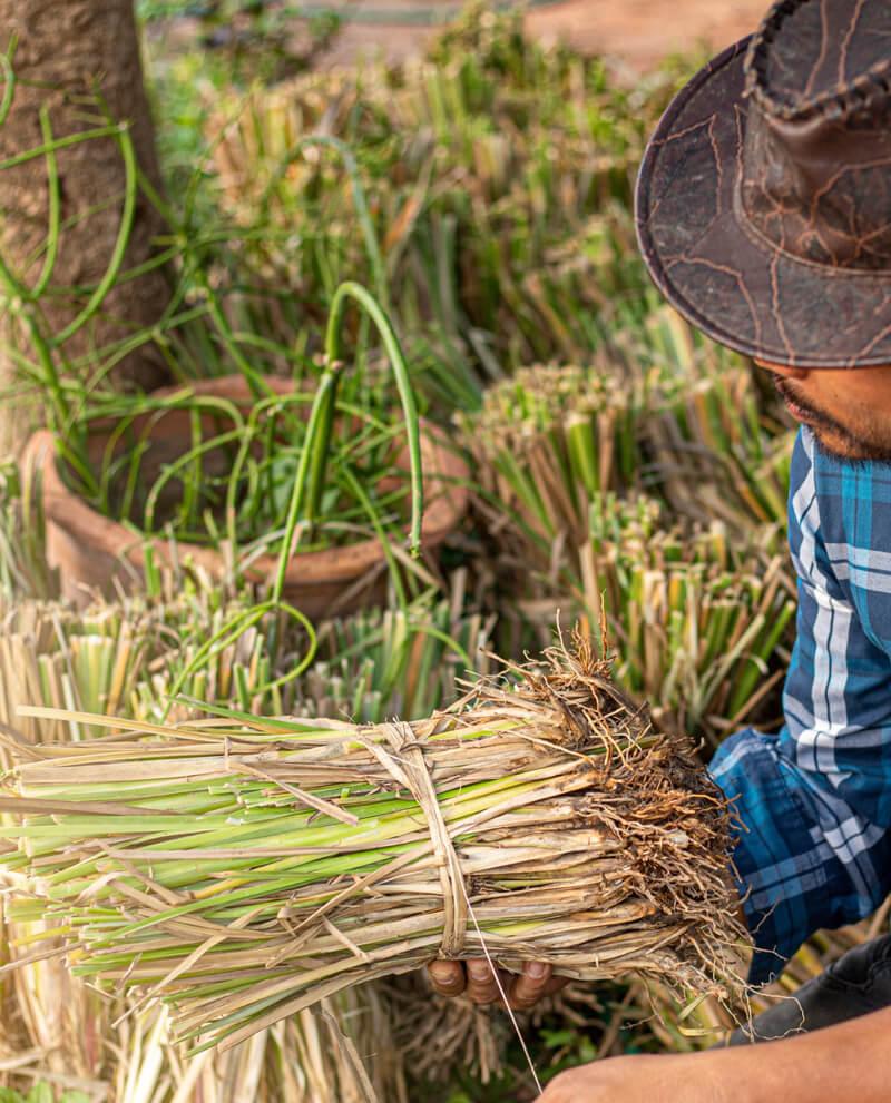 vetiver harvest natural essential oil