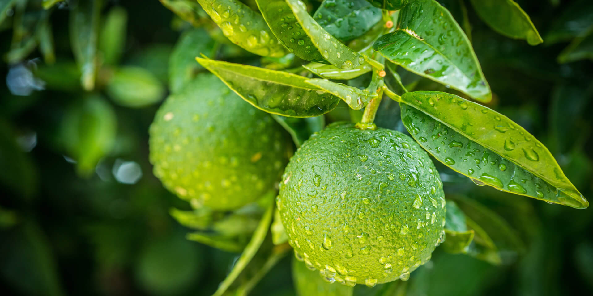 green orange harvest green orange perfume