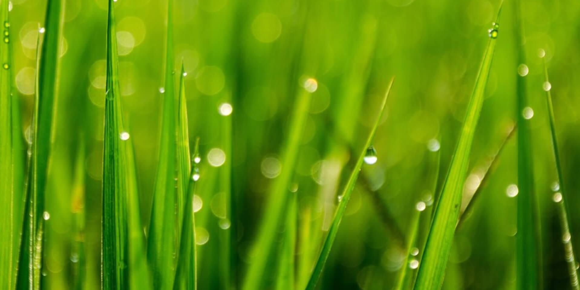 herbes fraiches-rosée du matin-parfum vert