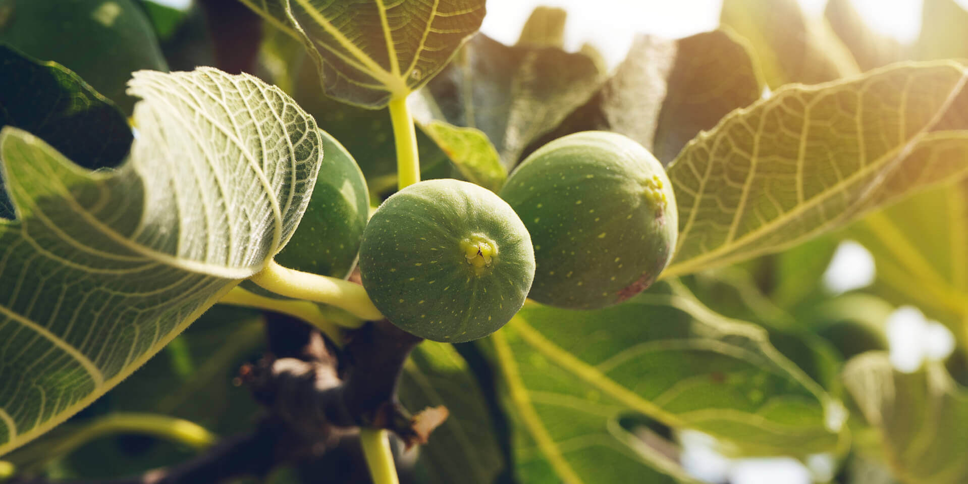 green fig fruits used to produce natural essential oil of green fig