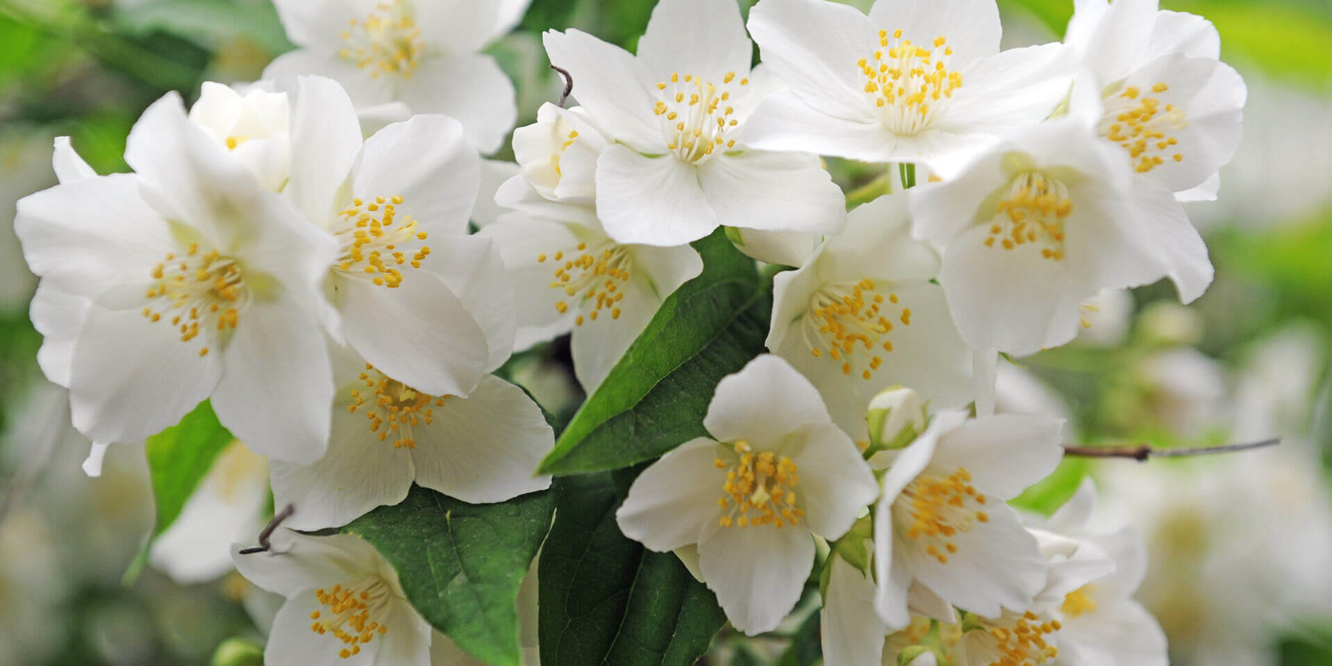 neroli flower used to produce natural essential oil